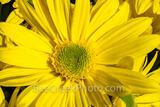Yellow Daisy Flower Macro
