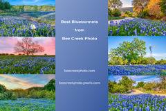 Best Bluebonnets Photos