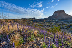 Bluebonnets, blue bonnets, sunrise, images of bluebonnet, texas wildflowers, texas bluebonnets, Big Bend National Park, Big Bend, landmark, Cerro Castellan, desert, landscape, bloom, Chiso bluebonnets