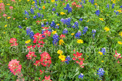wildflowers, texas wildflowers, bluebonnets, indian paintbrush, yellow daisys, texas, vertical, central texas, south texas, floral, flowers, plants, colorful wildflowers, tall, vertical, backroads,vib