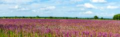 lemon horsemint, flowers, lavendar, purple, pink, field, farmland, crop, farm land, texas hill country, pano, panorama, landscape, commericial crops, seeds, plant, horsemint, blooms,
