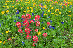 Indian Paint Brush, Wildflowers, Texas wildflowers, red, clover, green, springtime, spring, floral, flowers, plants, texas wildflower landscape,