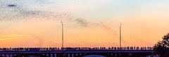 Austin Congress Bats Panorama, Austin, Congress, Bats, baby bats, mexican free tail bats, bridge, downtown, Ann Richard Congress Bridge, dusk, people, crowds, , sky, Line, Radisom, hotels, Hyatt, pano