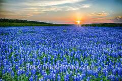 Bluebonnets, Texas Hill country bluebonnets,  texas bluebonnets, field of bluebonnets, texas hill country, images of bluebonnets, pictures of bluebonnets, spring, Muleshoe Park, Colorado river, heaven