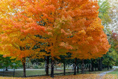 fall, autumn, sugar maple, tree, foliage, leaves, arkansas, colorful, stunning, orange,