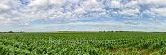 Texas Farmland, Landscape, Pano, panorama, corn, crop, cornfield, texas hill country, pano, panorama, green field, country, farmland, hill country, texas, country landscape, farm landscape,