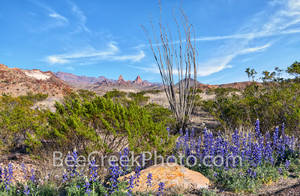 big bend bluebonnets, octillo, shrubs, Mule Ear, big bend national park, wildflowers, desert, landscape, mountains, west texas, texas bluebonnets, chiso bluebonnets, texas wildflowers,