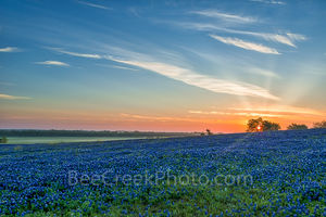 Bluebonnet pictures, bluebonnet images, Texas Bluebonnets, blue bonnet sunrise, image of bluebonnets, texas, bluebonnets, Ennis, sunset, texas landscape, pasture, fileld of bluebonnets, ranch, images