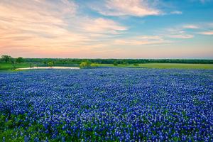 Bluebonnet images, pictures of bluebonnets, Texas Bluebonnets, bluebonnet sunset, bluebonnets, sunset,  texas, fileld of bluebonnets,image of bluebonnets, pictures of bluebonnets,  photos of texas, ra