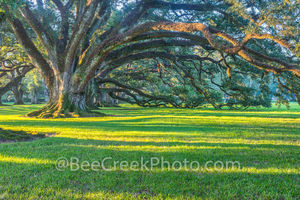 Oak  Alley, live oaks, plantation, mansion, Mississippi river, Vacherie, Louisiana, southern us, deep south, New orleans, swamps, roots, limbs, trees, leaves, spanish moss,