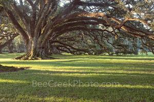 Lousiana, Oak Alley Plantation, sunrise, big house, branches, mansion, oak trees, plantation, roots, sidewalk, slaves, sugar cane, canopied path, seven oaks, oak valley, National Historic landmark, st
