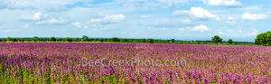 lemon horsemint, flowers, lavendar, purple, pink, field, farmland, crop, farm land, texas hill country, pano, panorama, landscape, commericial crops, seeds, plant, horsemint, blooms,