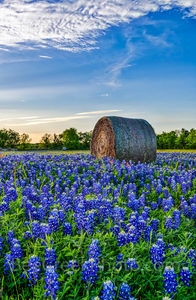 Texas bluebonnets, hay bales, vertical format, lovely bluebonnets, rural, wildflowers, field,Texas Bluebonnets with Hay bales, farm,