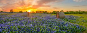 texas blue bonnets, sunset, haybales, hay bales, rural, field of bluebonnets, pano, panorama, bluebonnets, blue bonnets, wildflowers, indian paintbrush, orange, pink, sky, colorful sky, sunset colors,