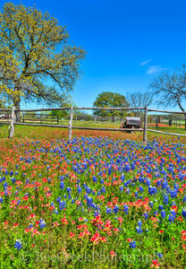 bluebonnets, indian paintbrush, old wagon, Hill country, wildflowers, landscapes, colorful, reds, blues, spring, springtime, spring flowers, texas flowers, texas wildflowers, images from texas, vertic