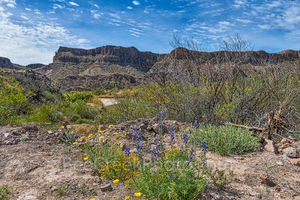 Bluebonnets, big bend state park, rio grande river, yellow wildflowers, Mexico, Texas bluebonnets, hybrid,