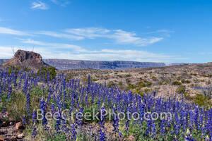 Big Bend National Park, image of bluebonnets, Cerro Castillian, Santa elena Canyon, mountains, desert, big bend, texas bluebonnets, Big Bend Bluebonnet, Big Bend Lupine, Havard Bluebonnet, Chisos Blue