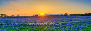 bluebonnets, bluebonnet, texas bluebonnets, texas wildflowers, pictures of wildflowers, bluebonnet pictures, , pano, panorama, golden glow, wildflowers, spring, sunset,