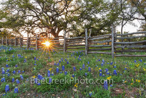 texas bluebonnets, texas wildflowers, wood fence, sunset, sun rays, bluebonnets, texas bluebonnet landscape, lupines, light, abundant, field, texas hill country, hill country, natural setting, texas w