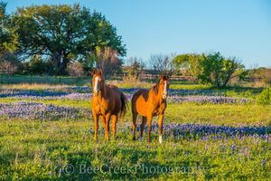 bluebonnets, blue bonnets, wildflowers, horses, landscape, field, pasture, Texas, Texas hill country,,
