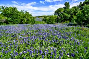 Texas bluebonnets, bluebonnet, hill, beyond, blue sky, clouds, nice field of bluebonnets, wildflowers,