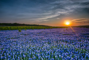 Bluebonnets, blue bonnets, sunset, field, fields, endless, Muleshoe Bend, Austin, Texas Hill Country, wildflowers, landscapes, spring, springtime, spring flowers, texas flowers, texas wildflowers, ima