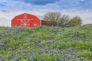Bluebonnets, Red Barn, wildflowers, spring, springtime, flowers, green grass, moody sky, Brenham, Texas, Chappel Hill,