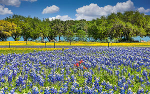 wildflowers, bluebonnets, blue bonnets, yellow perky sues, river, texas hill country, indian paintbrush, red, bluebonnet field, landscape, colorful,  springtime,