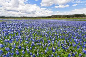 Bluebonnets, blue bells, blue bonnets, flowers, bluebonnet landscape, blue, texas bluebonnets, wildflowers