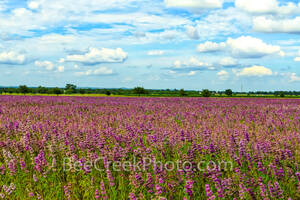 lemon horsemint, horsemint, flowers, lavendar, purple, pink, field, farmland, crop, farm land, texas hill country, landscape, texas landscape, commercial crop, seeds, plant, bloom,