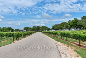Grape vines, road, hill country, texas, wine tasting, winerys, vines, grapes, plants, landscape, blue sky, texas hill country, grape vine plants,