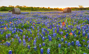 Texas bluebonnets, wildflowers, ranch, hay bales, sunrise, field of texas bluebonnets, indian paintbrush, sun rays, lupine, state flower of Texas, springtime, flower,