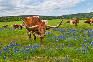 Longhorns,  bluebonnets, herd, wildflowers, horns, field, cattle, hill country, texas, images of texas,