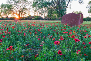 hill Country wildflowers sunset, hill coutry, sunset, metal buffalo, sun rays, firewheel, indian blanket, wildflowers, spring, bison, texas, landscape,