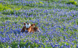 Longhorn calf, cattle, bluebonnets, texas bluebonnets,  Texas southwest, texas wildflowers, field, symbol, docil, baby, field of bluebonnets, texas, field of bluebonnets,