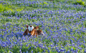 Longhorn calf, cattel, bluebonnets, Texas southwest, wildflowers, field, symbol, docil, baby, field of bluebonnets,