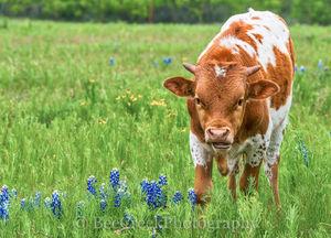 longhorn calf, cattle, longhorn, bluebonnets, ranch, texas,