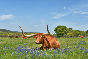 bluebonnets, longhorns, nap time, blue sky, sunning, laying, spring time, hill country, Texas, images of texas,