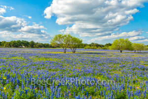 bluebonnets, mesquite trees, ranch, poppies, texas wildflowers, San Antonio, Poteet, Texas, green, blue, field, south texas, images of bluebonnets, pictures of bluebonnets,