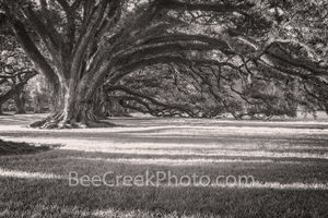 Lousiana, Oak Alley Plantation, sunrise, big house, branches, oak trees, plantation, roots, slaves, sugar cane, canopied path, seven oaks, oak valley, National Historic landmark, st james parish,