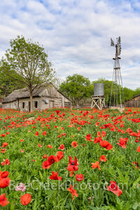 Poppies at the Farm Vertical