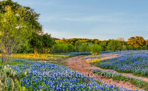 texas bluebonnets, texas wildflowers, texas hill country, texas, blue bonnets, hill country,  pictures of bluebonnets, images of bluebonnets,  sun, shadows, light, trees, curved road, blue bonnets, wi