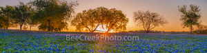 bluebonnets, texas bluebonnets, sunrise,  field of bluebonnets, texas hill country, trees, mesquite, wildflowers, texas bluebonnets, state flower of texas, texas legislature, lupine,  hill country,