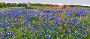 Bluebonnet, haybales, sunrise, texas bluebonnets, field, panorama, pano, indian paintbrush, wildflowers, rural texas, scene, texas scenery,Sunrise Over Hay bales and Bluebonnet Panorama,