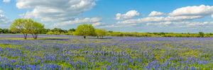 bluebonnets, mesquite trees,  pano, panorama, ranch, poppies, texas wildflowers, San Antonio, Poteet, Texas, green, blue, field, south texas, texas wildflowers,
