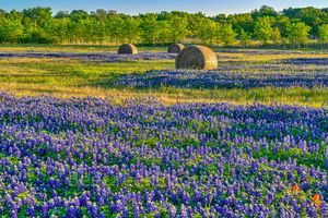 Texas bluebonnets, hay bales, indian paintbrush, rural texas, field of haybales, wildflowers, landscape,