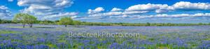 bluebonnets, mesquite trees,  pano, panorama, ranch, poppies, texas wildflowers, San Antonio, southern Texas, green, blue, field, south texas, texas wildflowers,