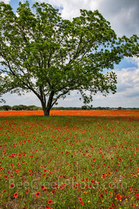 Texas, wildflower, landscape, vertical, indian blanket, firewheels, road trip, field of wildflowers, texas hill country, tree, annual, flowering plant, blooms, red flower, texas hill country wildflowe