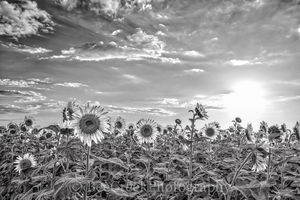 Sunflowers, sunflower, giant sunflowers, field, crop, black and white, seeds, sky, clouds, texture, black and white, bw, landscape,