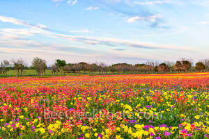 wildflowers, texas wildflowers, bluebonnets, indian paintbrush, yellow daisys, phlox, texas, central texas, south texas, floral, flowers, plants, colorful, wildflowers, backroads, pano, panorama, vibr